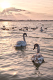 Two swans on a decline. Two young swans float in water, against decline Stock Images