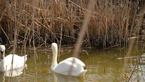 Two swans in the dry reeds. Two swans on the pond in the middle of the dry reeds stock video footage