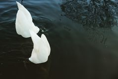 Two Swans Eating royalty free stock photo