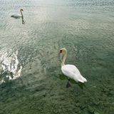 Two swans on Emerald Lake Stock Photography