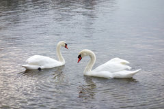 Two Swans Facing on a Shining Lake Royalty Free Stock Image