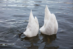 Two swans feed Stock Photo