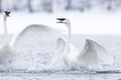 Two swans fighting over female Stock Photo