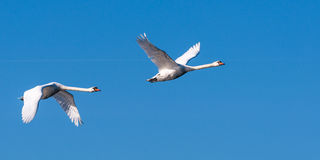 Two Swans In Flight, Wings Raised Royalty Free Stock Images