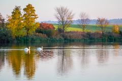 Two swans float along a river that reflects multicolored autumn trees. Autumn landscape with the river and swans_. Two swans float along a river that reflects stock image