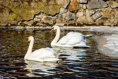 Two swans float in the dark water a pond covered with ice. Wintering birds_ royalty free stock photos