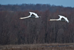 Two Swans Flying In Unison Royalty Free Stock Images
