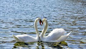 Two Swans form a love heart shape with their necks. Lake ohrid,macedonia royalty free stock photography