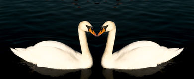 Two swans form a symmetrical pattern as they swim and glide on the surface of Royalty Free Stock Images