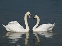 Two Swans forming a heart Royalty Free Stock Photography