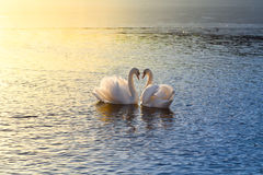 Two swans forming a heart stock photo