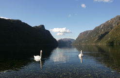 Two swans in Frafjord Stock Photos