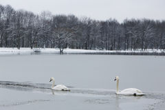 Two swans on frozen lake Stock Photos