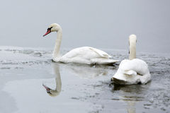 Two swans on frozen lake Royalty Free Stock Photo
