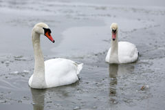 Two swans on frozen lake Royalty Free Stock Image