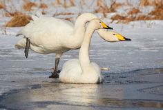 Two swans on the frozen lake Royalty Free Stock Image