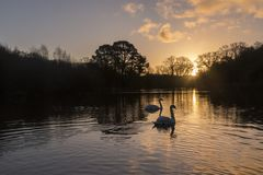 Two swans in the golden morning light on Southampton Common stock images