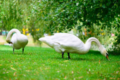 Two swans grazing green grass Royalty Free Stock Photography