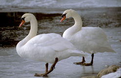 Two swans on ice Stock Photography