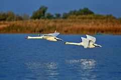 Free Two Swans In Flight From Danube Delta Biosphere Reserve, Tulcea County, Romania Royalty Free Stock Image - 156927216