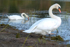 Two swans Stock Images