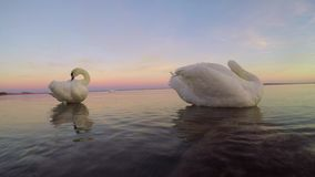Two swans on the lake Balaton in Hungary stock video footage