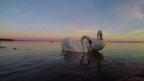 Two swans on the lake Balaton in Hungary stock footage