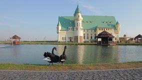 Two swans at the lake. Two beautiful swan on a background of a beautiful castle. Two swans at the lake stock footage