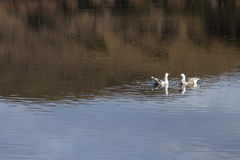 Two swans in the lake Royalty Free Stock Photography