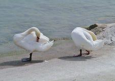 Two swans at a lake Stock Image