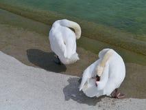 Two swans at a lake Royalty Free Stock Image