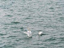 Two swans on lake Royalty Free Stock Photos
