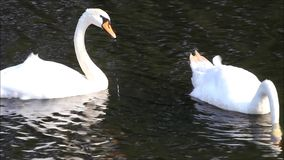 Two swans in a lake searching for fodder stock video footage