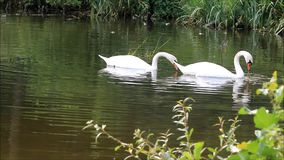 Two swans in a lake. Two swans searching for fodder in lake at shore stock video