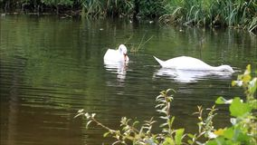 Two swans in a lake at shore. Two swans searching for fodder in lake at shore stock video