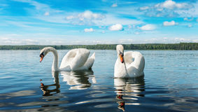 Two swans on a lake Stock Photography