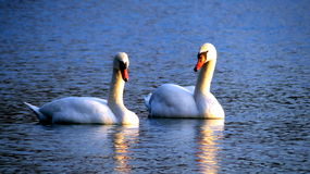 Two swans in a lake Stock Photo