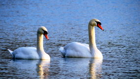 Two swans in a lake Royalty Free Stock Image