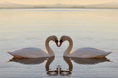Two swans on lake Royalty Free Stock Photography