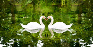 Two swans on a lake surrounded by trees. Royalty Free Stock Images