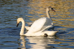 Two swans in a lake Stock Photography