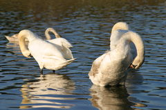 Two swans in a lake Stock Image