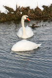 Two swans in lake Royalty Free Stock Image