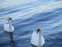 Two swans into the lake royalty free stock image