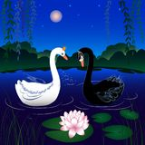Two swans on a lake. White and black swans on a lake at dawn Stock Images