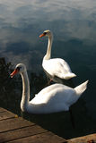 Two swans on the lake Stock Photo