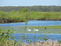 Two swans in little lake, Lithuania Royalty Free Stock Photo