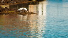 Two swans with little nestlings by river Stock Photos