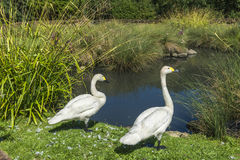 Two swans in London Wetlands Center nature reserve Royalty Free Stock Images