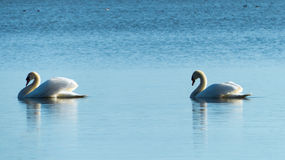 Two swans - love concept Royalty Free Stock Photo